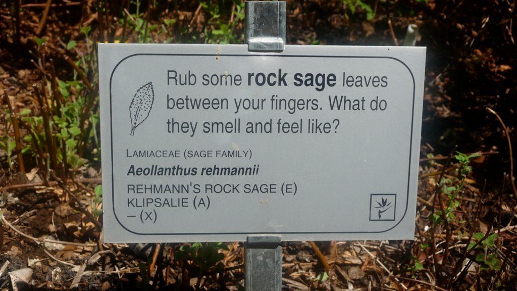 Rehmanns Rock Sage